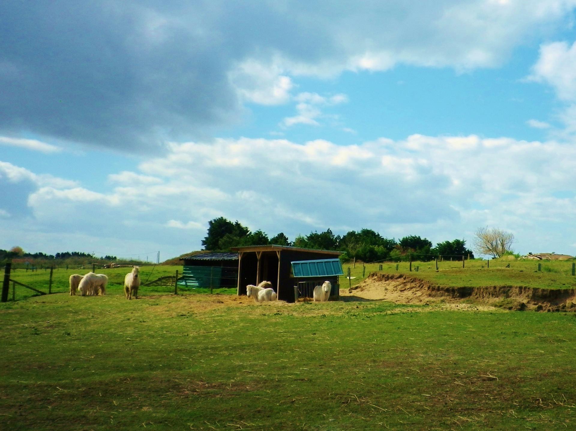 chevaux et poneys à oye plage
