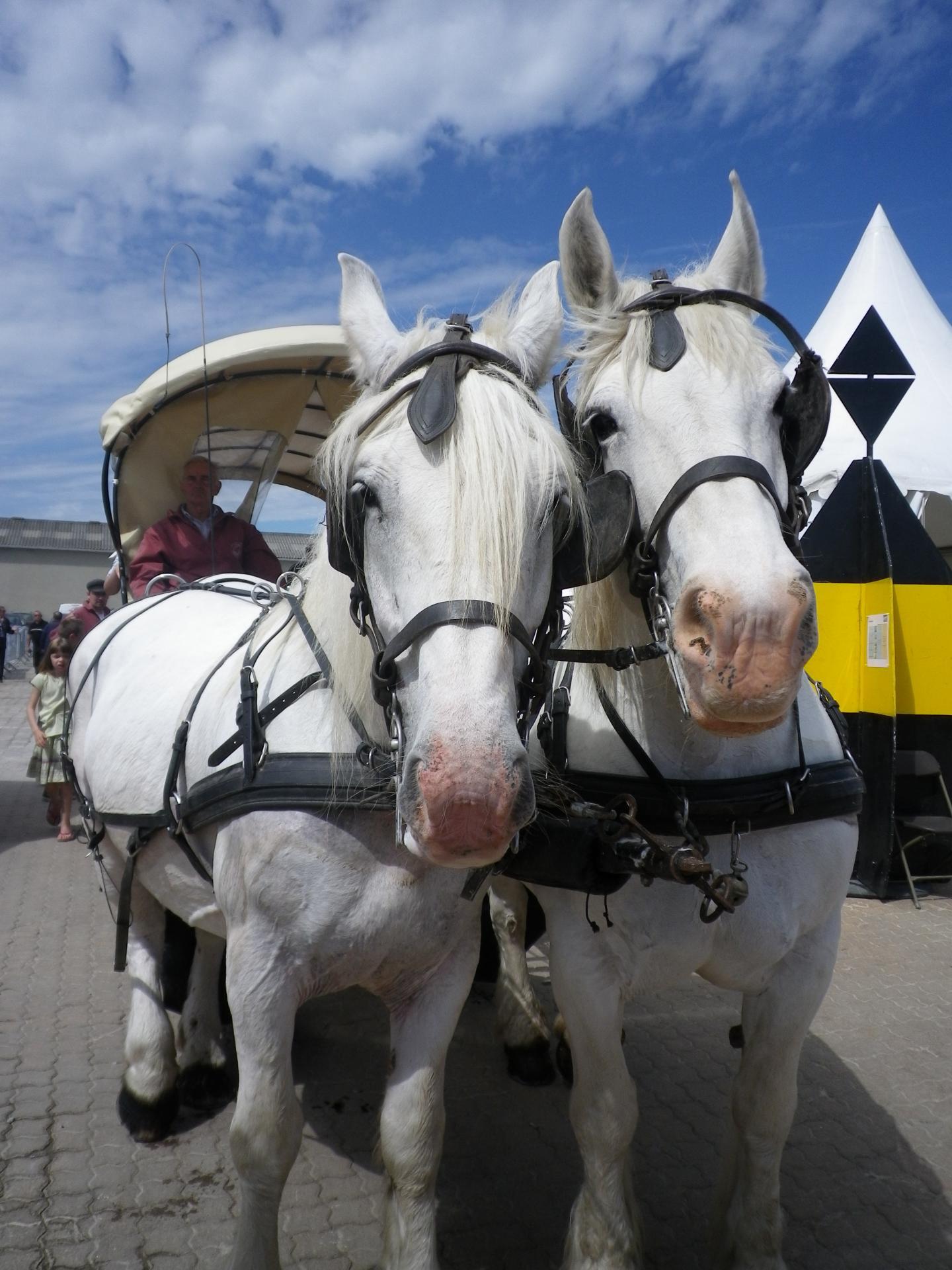 chevaux boulonnais à fete maritime de calais